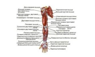 Названия мышц человека — для чего нужно их знать?